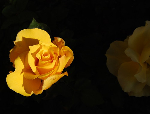 easter_roses_2009