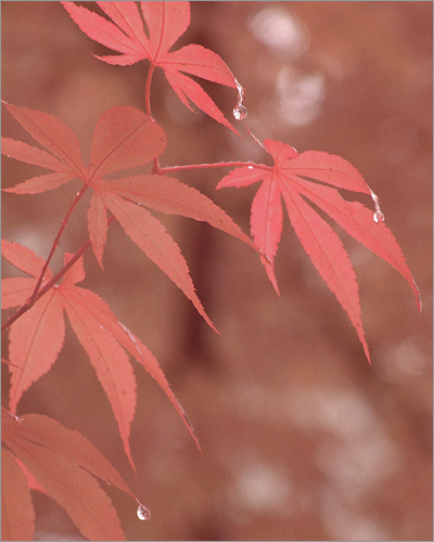japanese maple leaves. Japanese Maple Leaves in the