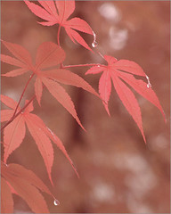 Japanese Maple Leaves in the rain -  / red / red color / color red / nature / DSIR0201 (Bahman Farzad) Tags: red color leaves rain ir japanese drops maple japanesemaple infrared colorred japanesemapleleaves redcolor colorphotoaward irrgb