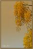 Happy Vishu!! (V I J U) Tags: flowers flower yellow sony kerala 2009 dsc vishu h5 kanikonna happyvishu