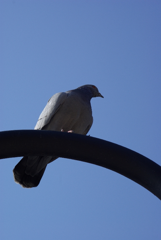 A pidgeon, which is...