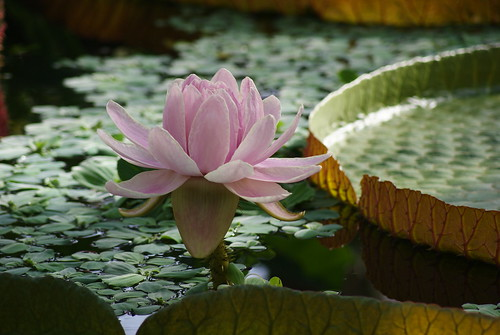 water lily by Diddis.