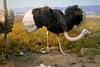 CB287 Ostrich (listentoreason) Tags: newyorkcity usa newyork bird nature animal museum america canon unitedstates places aves ostrich animalia vertebrate americanmuseumofnaturalhistory struthiocamelus struthioniformes ratite chordate chordata struthio ef28135mmf3556isusm score25 struthionidae animalidentification
