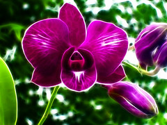 Dendrobium phalaenopsis (Gilbert Rondilla) Tags: camera plants plant orchid flower nature photomanipulation garden point polaroid photo shoot purple philippines violet indigo phalaenopsis explore gilbert filipino digicam notmycamera own pinoy borrowedcamera pns mothorchid rondilla i733 notmyowncamera theperfectphotographer polaroidi733 fractalius fractaliusplugin gilbertrondilla gilbertrondillaphotography luisianian purplehunt yahoopurplehunt purplepinoy purplepinoys deondrobium