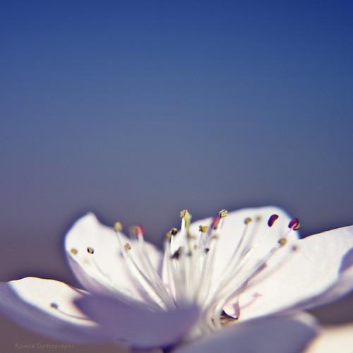Florea de lotu, floare de cires