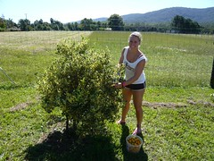 Erster Fruitpicking Job hihi (KathrinF) Tags: australia coffsharbour