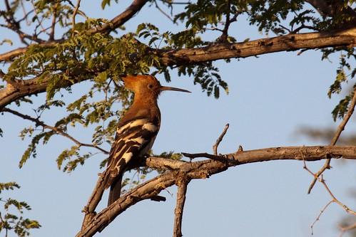 African Hoopoe - Upapa Africana