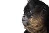 The Thief (Megan Lorenz) Tags: ontario nature animal closeup mammal monkey looking wildlife watching pinky whitebackground thinking thief curious staring primate alert orono spidermonkey wildanimals junglecatworld