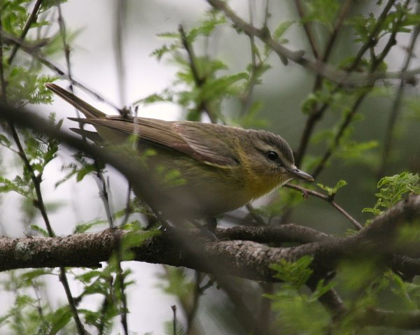 Which Vireo is this?