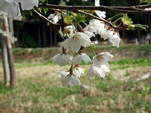 大代集落の水芭蕉と桜~旧山北町