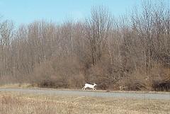 64 (from moving bus, & not close) He stood with 3, then alone, and finally ran: white deer (not albino) (Birder23) Tags: summer wildlife earlymorning april 2009 exciting bustour whitedeer environmentalconservation aplusphoto seeset senecaarmydepot heartoffingerlakes senecawhitedeerinc dennismoneytourguide herdof200