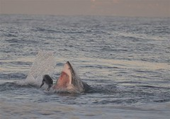 Seal meal (Sean Sequeira) Tags: africa white shark town south seal cape