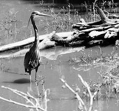 Here Comes That Bird Again (Jeff Holbrook) Tags: wood bw plants bird water log crane wetlands naturesfinest