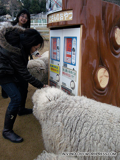 Buying food from a vending machine to feed the sheep