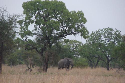 A lone elephant .... Horton?
