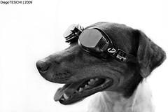 Nicolas (DiegoTeschi) Tags: bw dog white black animal branco casa explorer pb preto nicolas nadador natao cachorro culos estdio homestudio paulistinha umbeijo umabrao diegoteschi bomfuturo