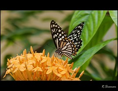 (R.Sreeram) Tags: orange butterfly kerala kollam swallowtailbutterfly ixora butterflyonflower sreeram chilasaclytia mywinners commonmime chilasa vosplusbellesphotos thetty