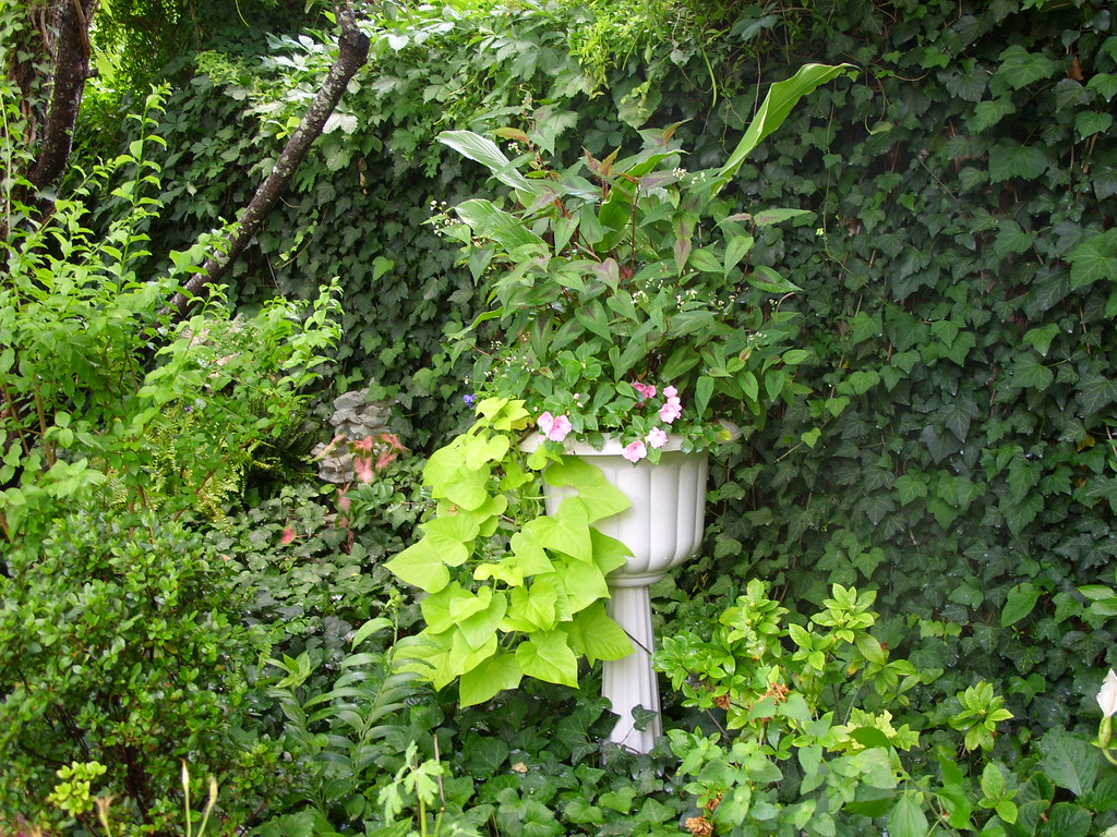 Ipomoea Marguerite in garden urn adds punch to the foliage in the shade garden