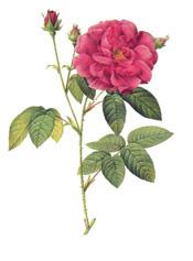 Apothecarys-Rose