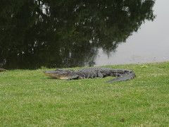 Gator at Hilton Head.JPG