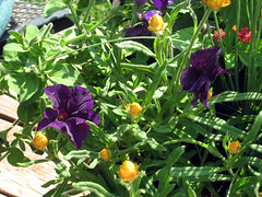 petunias and strawflower