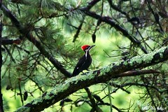 Woody The Woodpecker!!! (~Kim's Picture Gallery~) Tags: bird nature cool woodywoodpecker