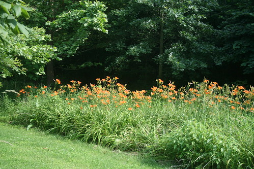 ditch lilies...in the ditch