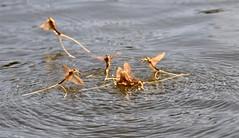 Tiszavirgzs - Myfly - Palingenia longicauda (elisabatiz) Tags: insect protected lifeanddeath myfly krsz tiszavirgzs tiszavirg palingenialongicauda