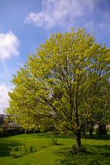 blue sky green garden spring lawn jardin sunny vert bleu ciel printemps pelouse limetree ensoleillé tilleul