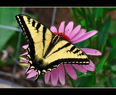 Swallowtail (champbass2) Tags: california flowers nature northerncalifornia yellow butterfly garden wings nikon coneflower striped swallowtail swallowtailbutterfly d90 platinumphoto frhwofavs champbass2