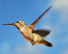 Hummer (o-rusty-nail) Tags: goldstar naturegroup awesomeshot topshots mywinner citritgroup theunforgettablepictures onlythebestare unforgettablepictures concordians crazyaboutnature natureselegantshots theperfectphotogrspher allthosebirds naturespotofgold photographersgonewild worldnaturewildlifehalloffame worldnaturewildlifecloseups vosplusbellesphotos hummingbirdphotogrophy wildlifeaward panoramafotografico natureisallallisnature naturesgreenstar thebestofmimamorsgroups addictedtonature thebestofmimamorsgroup nationalgeographhic hebestofmimamorsgroups wingwonders crazyaboutnatureawards holycreationsofnature universeofnature