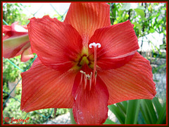 Scarlet-coloured Hippeastrum, darkening to red as it ages on the fifth day