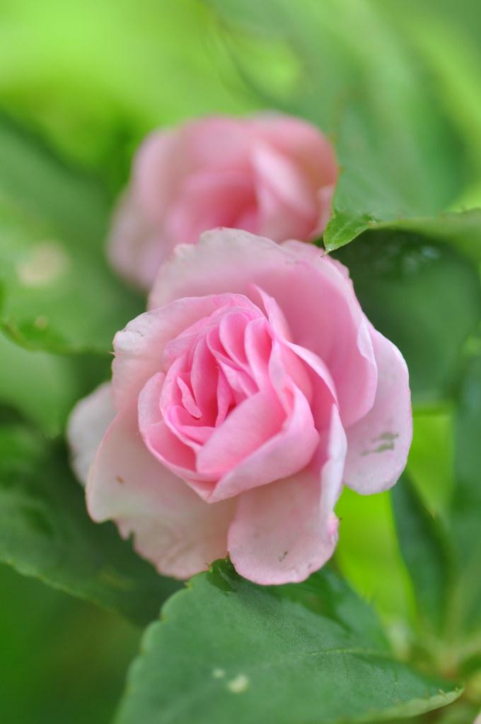 Rose 玫瑰 ...