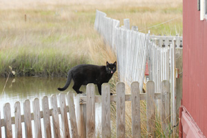 Free-roaming cat of the Chesapeake