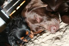 let sleeping dogs lie (Jon Burgess) Tags: sleeping dogs cavalierkingcharlesspaniel chocolatelabrador