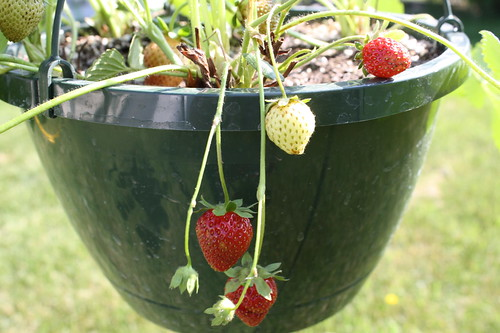 strawberries hanging basket