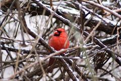 DSC01597.JPG (rhombidec) Tags: snow male cardinal tripod baltimore untouched uncropped sonydslra100 sal75300