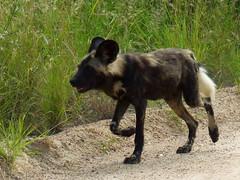 Early morning puppy run (Jacques S G) Tags: africa travel wild nature animals southafrica tour safari predator mammals krugernationalpark mpumalanga carnivore wilddogs lycaonpictus largetourssafaris