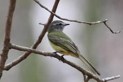 Greenish Elaenia (Alastair Rae) Tags: birds mexico yucatn fbwnewbird fbwadded myiopagis greenishelaenia myiopagisviridicata