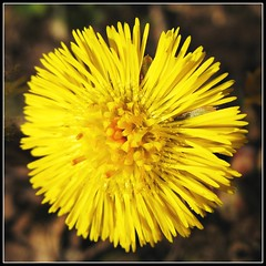 Blooming Coltsfoot means Spring! (Batikart ... handicapped ... sorry for no comments) Tags: plant flower macro nature yellow closeup canon germany square geotagged deutschland gold golden spring flora europa europe colours stuttgart blossom natur pflanze arc meadow wiese f100 gelb makro wildflower blte asteraceae frhling canonpowershot a610 medicinalplant coltsfoot tussilagofarfara tussilago huflattich badenwrttemberg frhjahr swabian wildblume canonpowershota610 heilpflanze 100faves frhlingsblume korbbltler viewonblack batikart