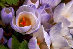 Spring... (Scott --) Tags: 20d spring takumar crocus blueribbonwinner mywinners abigfave platinumphoto mycameraneverlies mwqio