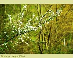 (///Negin Kiani) Tags: iran iranian   norooz noruz        nikond80 happynorooz      neginkiani        88 ilovenorooz aryai