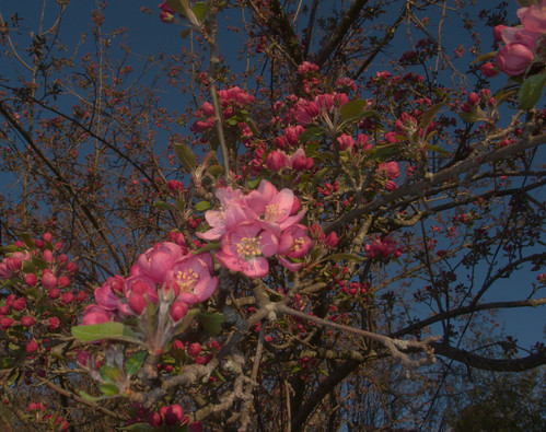 Crabapple on the first day of spring