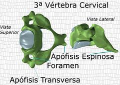 3ª Vértebra Cervical