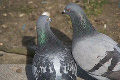 Love birds (1/4) (Anieteke) Tags: bird love pigeon vogel duif