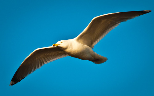 Seagull in flight (2nd edit)