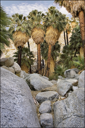 Palm Oasis, Photograph by Robert Hitchman, All Rights Reserved