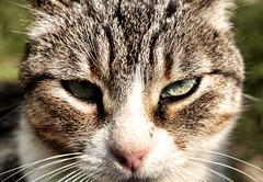 Looking At YOU! (Jess Gutirrez Gmez) Tags: portrait naturaleza cats eye nature look animal cat de ojo eyes feline colombia retrato jesus bigotes ojos gato u mirar felino gutierrez uni mirada gomez medelln mirando antioquia pelos loking cruzadas a goldstaraward canoneosdigitalrebelxsi versidad