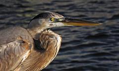 greatblueportrait (al-ien) Tags: heron waterbird waterfowl picturesque greatblueheron thewonderfulworldofbirds