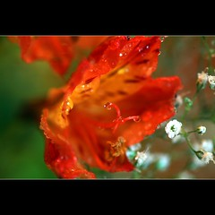 Thank you Rogelio... (JannaPham) Tags: red flower macro green nature dedication thanks canon garden happy eos golden droplets drops friend colorful flickr friendship bokeh 5d rogelio fryday project365 69365 jannapham guzmamoya
